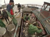 Ambarcaţiunea de transport este descărcată de 4 pescari.Foto: Eduard Vasilică