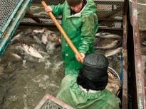 Pescarii descarca pestele din ambarcatiunea de transport