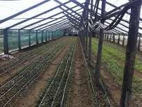 Rasaduri de goji plantate in sera