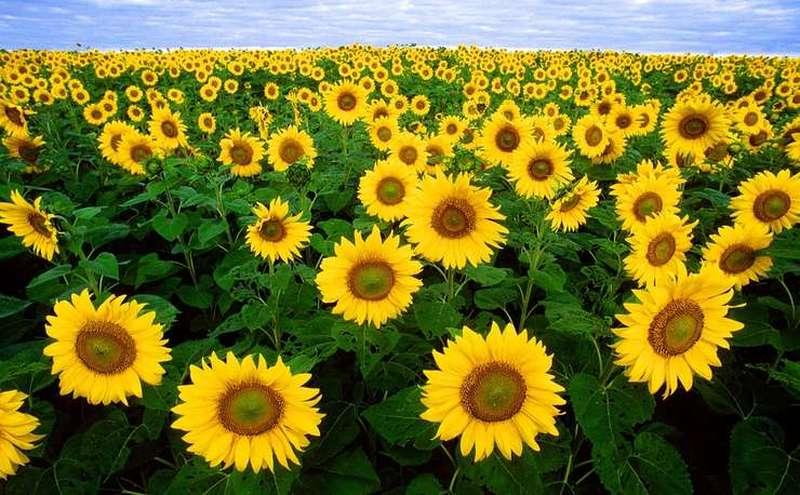 Camp acoperit cu floarea soarelui (wikimedia)