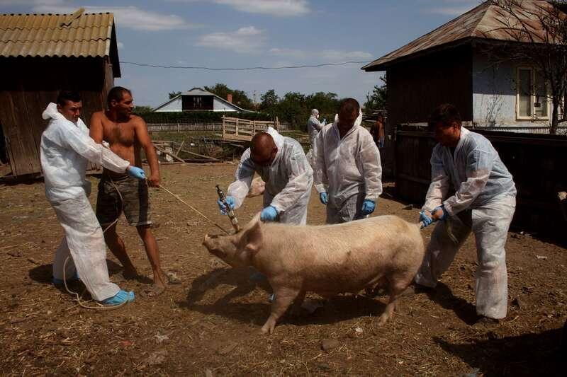 Asomarea unui porc in gospodaria unui taran
