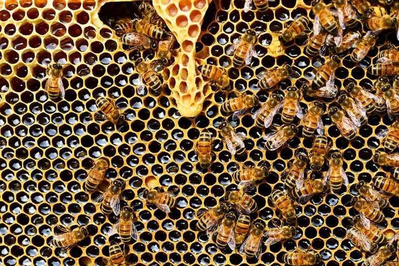 Albine pe un fagure plin cu miere (pixabay.com)