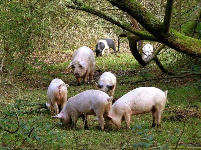 Porci domestici care se plimba liberi intr-o poiana
