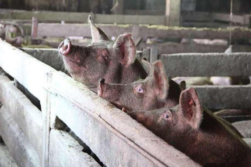 Porci, pesta porcina