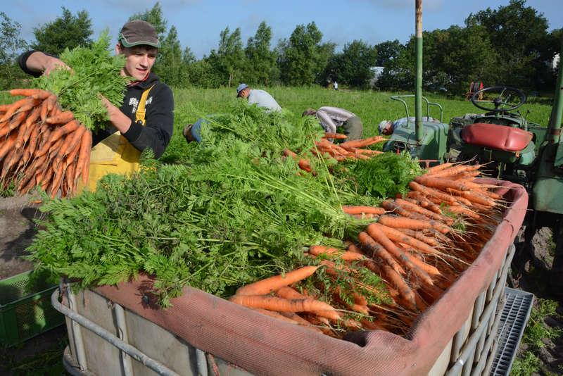 Tanar fermier recolteaza morcovi de pe camp intr-o lada de transport