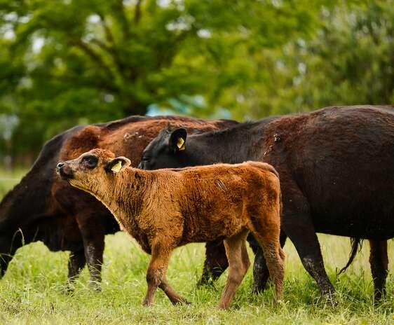 Vaci și viței Angus pe islaz