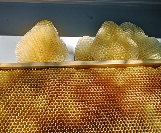 Albinele fac faguri perfecți. Foto: Thomas Dousseau, Marie Barbaud