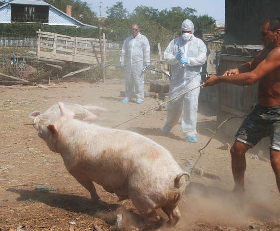 Propunerile ANSVSA privind creșterea porcilor în gospodării