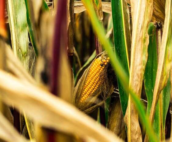 Stiulete de porumb copt, intr-un la de porumb. Crop din fotografia creată de Michael Fischer, de la Pexels