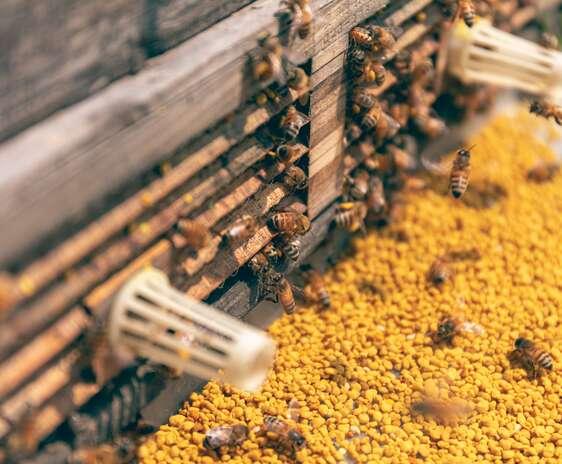 Intrarea intr-un stup de albine pavata cu granule de polen galben